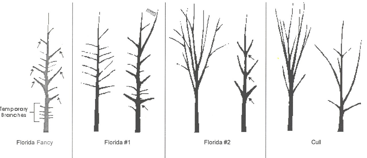 Florida tree grades-and-standards