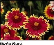 FFL Blanket Flower