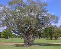 mel_tree